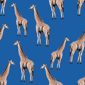 Giraffes on Blue Background