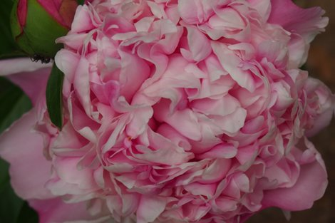 Rrrrrrrrrrrpink_peony_shop_preview
