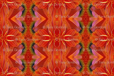 Symmagery Orange Gerber Daisy