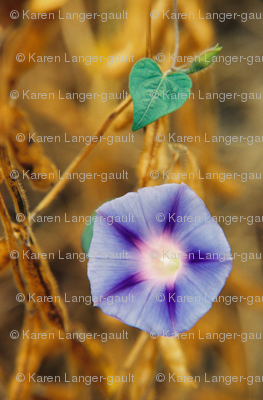 MORNING_GLORY_AND_SOYBEANS2