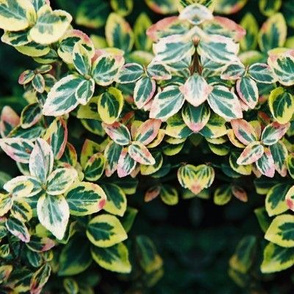 VARIEGATED_FOLLIAGE1