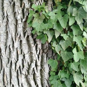 Ivy Leaves Cascading on Tree Bark