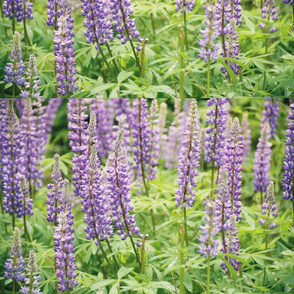 PURPLE_LUPINE_PLACEMATS-SPOKANE