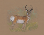 Rpronghorn_antelope_for_pillow_3_thumb