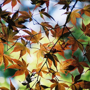 JAPANESE_MAPLE-PLACEMAT