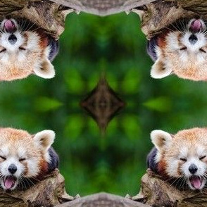Red Panda Yawning