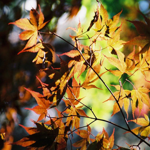 JAPANESE_MAPLE-MANITO_PARK