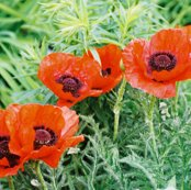 Rred_poppies_2-placemat_shop_thumb