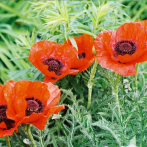 RED_POPPIES_2-PLACEMAT