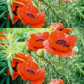 RED_POPPIES_3-PLACEMAT
