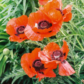 RED_POPPIES-LARGE