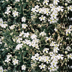 TINY_WHITE_FLOWERS-PLACEMAT