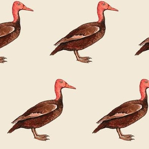 Pink headed duck, off white