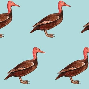 Pink headed duck, lighter blue