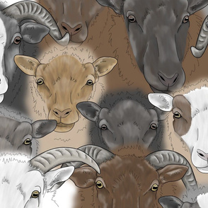 Shetland Sheep herd faces - large