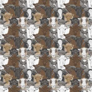 Shetland Sheep herd faces - small