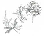 Rrgloriosa_pieris_spoonflower_final_thumb