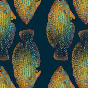 shortnose wrasse stripe