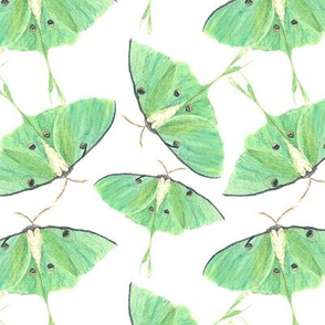 Luna Moths Abound