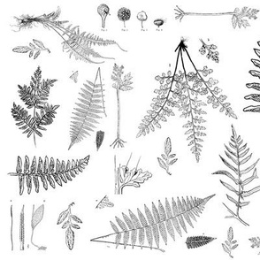 Vintage Botanical Illustration of Ferns