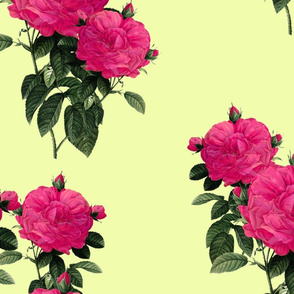 Redoute Roses  ~ Hot Pink of Earrach