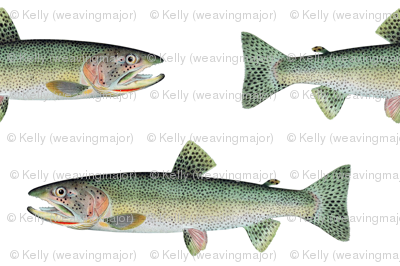 cutthroat trout on white