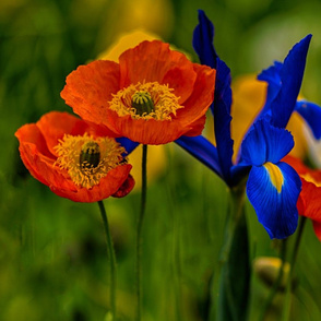 poppies and irises