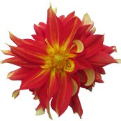 Dahlia-red-and-yellow_shop_thumb