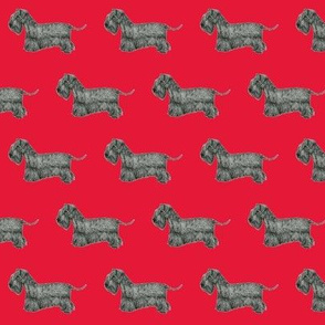 Cesky Terrier Red