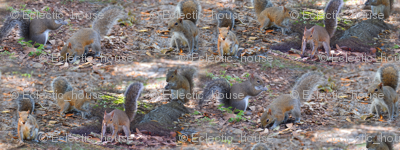 Gray Squirrels in Park