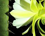 Rnight-cactus-bloom-3-2017-103_7873_thumb