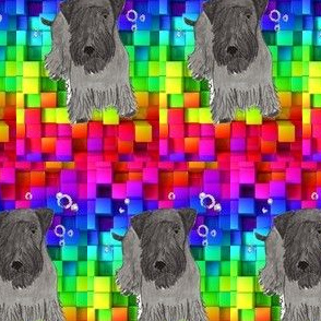 Cesky terrier color blocks