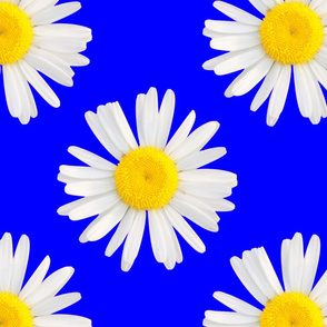 daisy royal