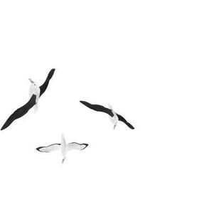 Royal Albatross (toroa)