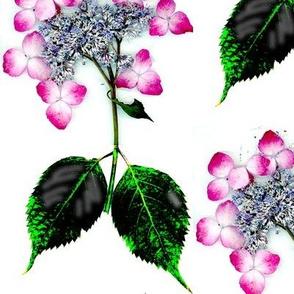 Pink on White lace hydrangea