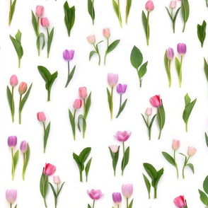 pink tulips in spring