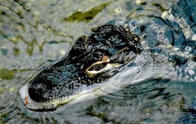 Gator_Baby