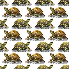 box turtle 6x6