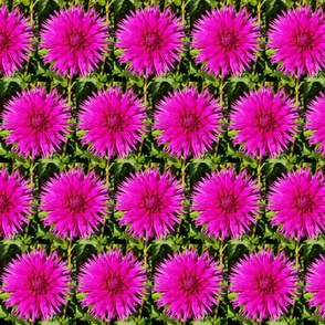 Hot Pink Dahlia