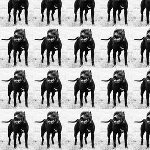 black & white pit bull