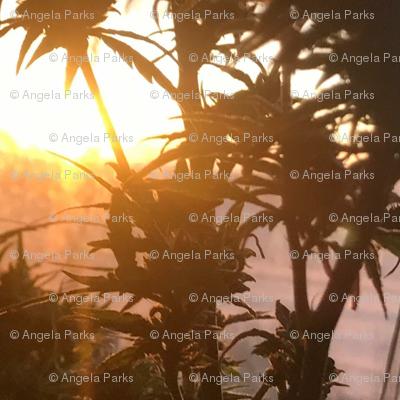 Ganja sunrise