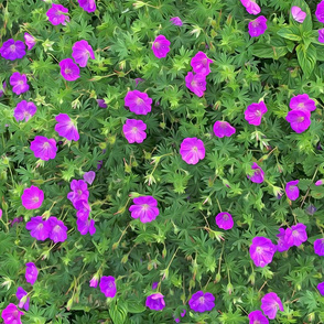 Wild Geranium Purple