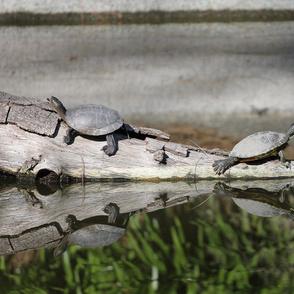 Turtles on a Log 4357