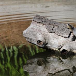 Turtle on a Log 4360