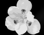 Rrrbermuda-flower-black-and-white_thumb