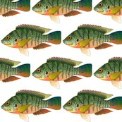 Rredbreasttilapia3kcc_shop_thumb