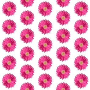 Gerbera in Raspberry Pink