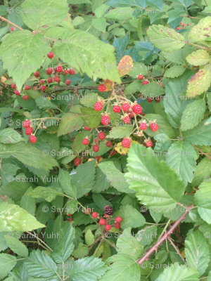 Unripened Blackberry Bush Vines
