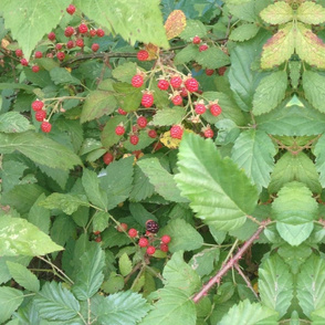 Unripened Blackberry Bush Vines