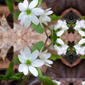 Symmagery White Hepatica